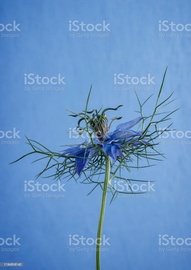 Single Nigella Flower stock photo