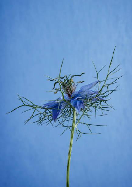Single Nigella Flower stock photo