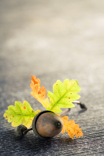 istock Single oak acorn and leaves on gray wooden cracked background. 843561204