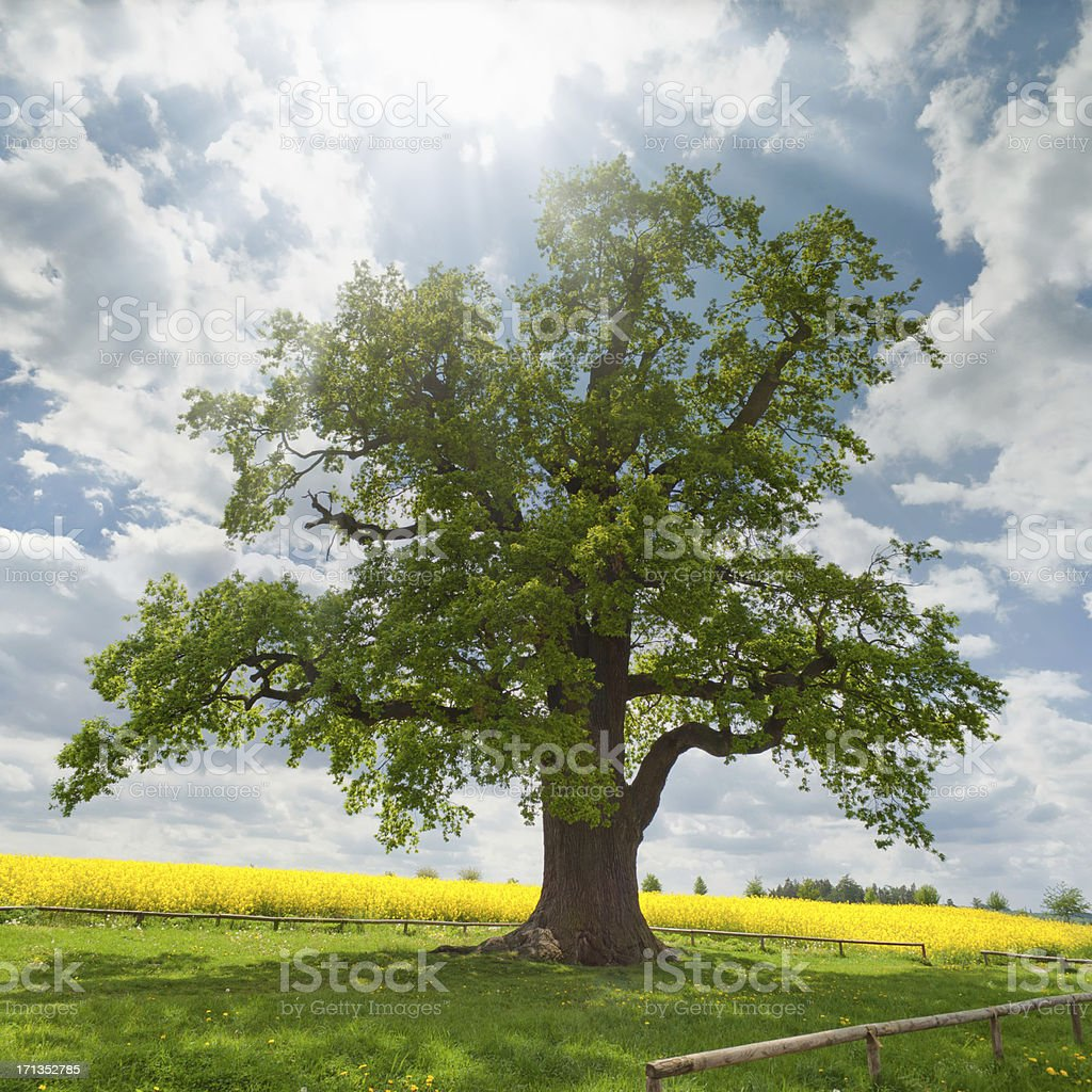 single oak at rape field royalty-free stock photo