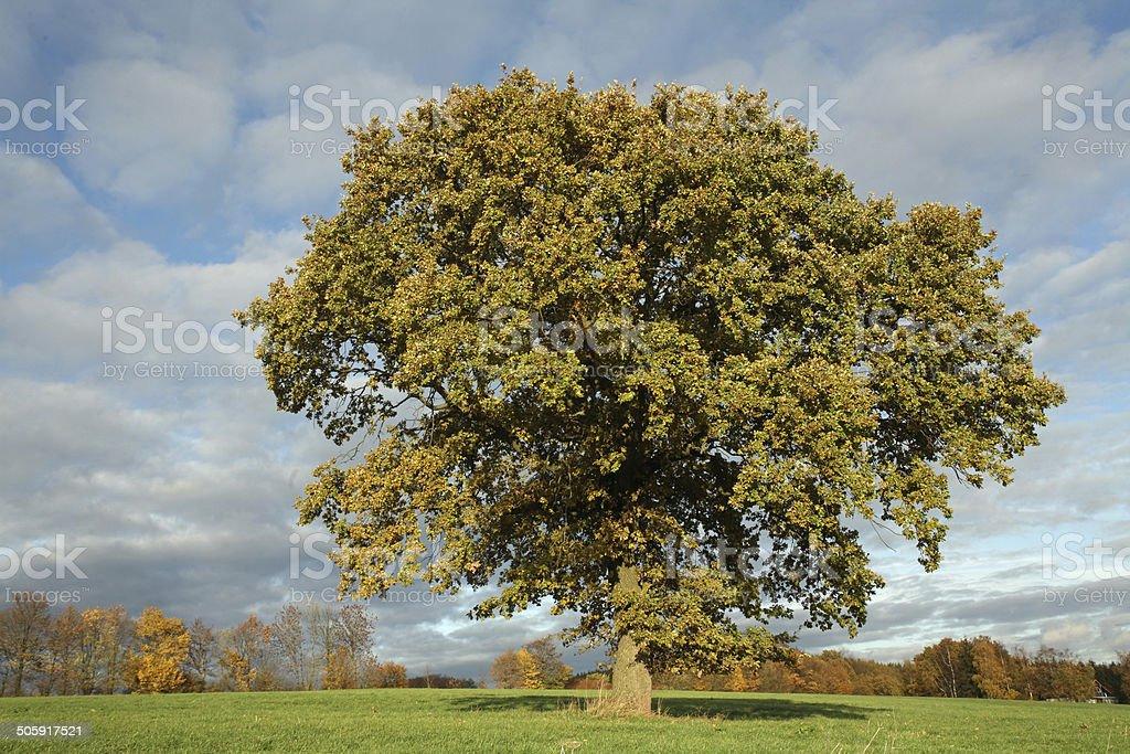Single oak in autumn stock photo
