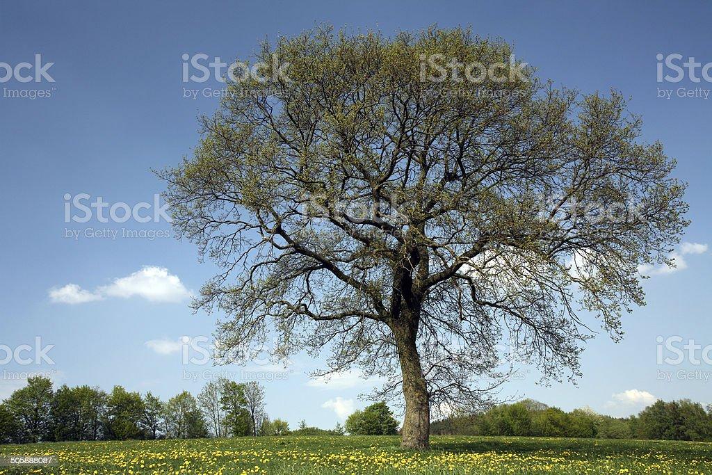 Single oak in spring stock photo