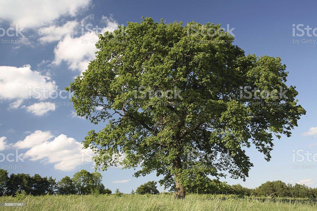 Single oak in summer stock photo