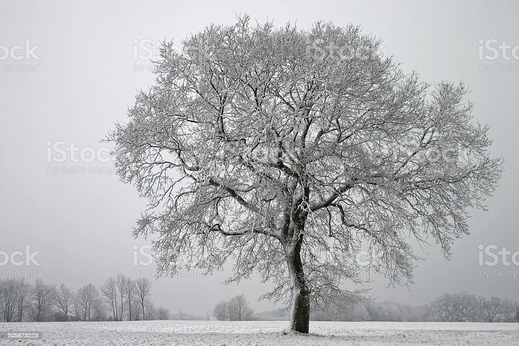 Single oak in winter stock photo