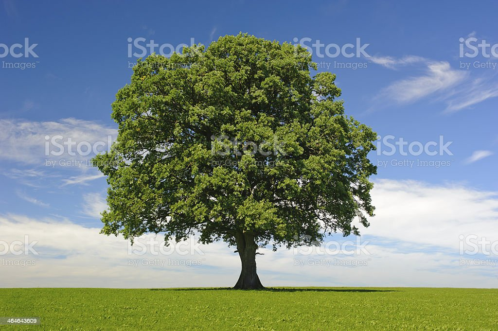 single oak tree at summer stock photo