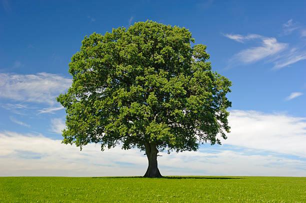 Única árvore de carvalho no verão - foto de acervo