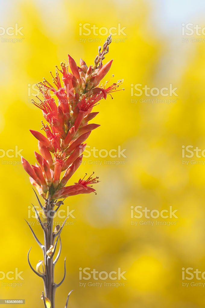 Single Ocotillo Bloom stock photo