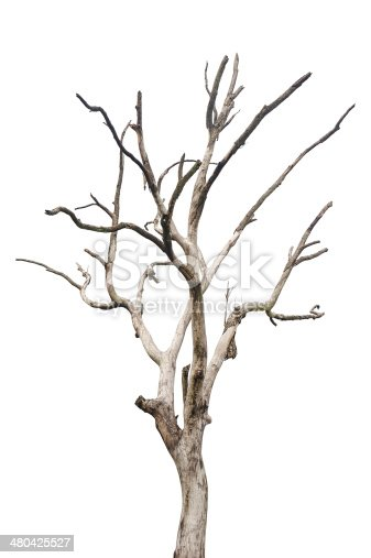 Single old and dead tree,Isolated on white background,Full frame and high resolution image
