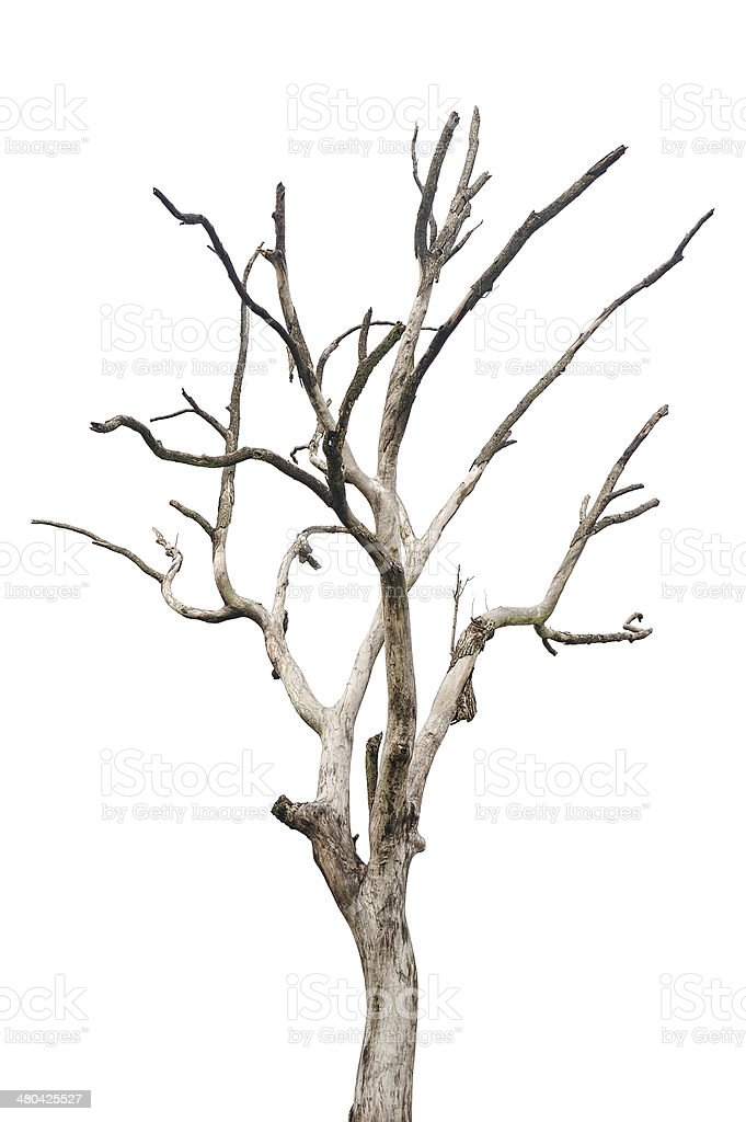 Single old and dead tree isolated stock photo