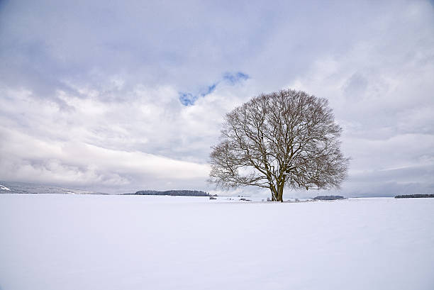 Single Old Bare Beech Tree in Winter covered with Snow stock photo