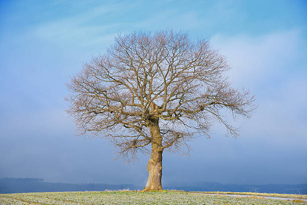 Single old bare oak tree on field with fog stock photo