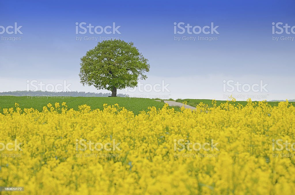 Single old oak tree in spring Behind canola field royalty-free stock photo
