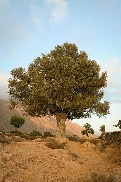 Single Olive Tree stock photo