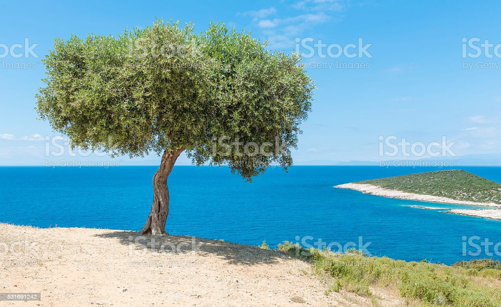 Single Olive tree stock photo