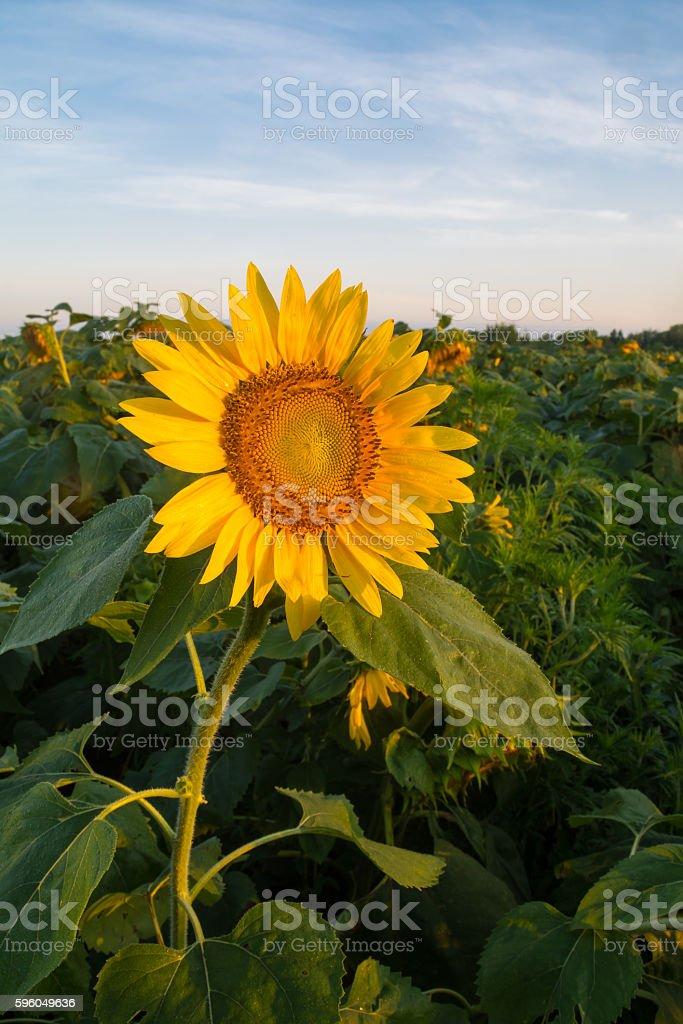 Single open sunflower plant at sunrise. royalty-free stock photo