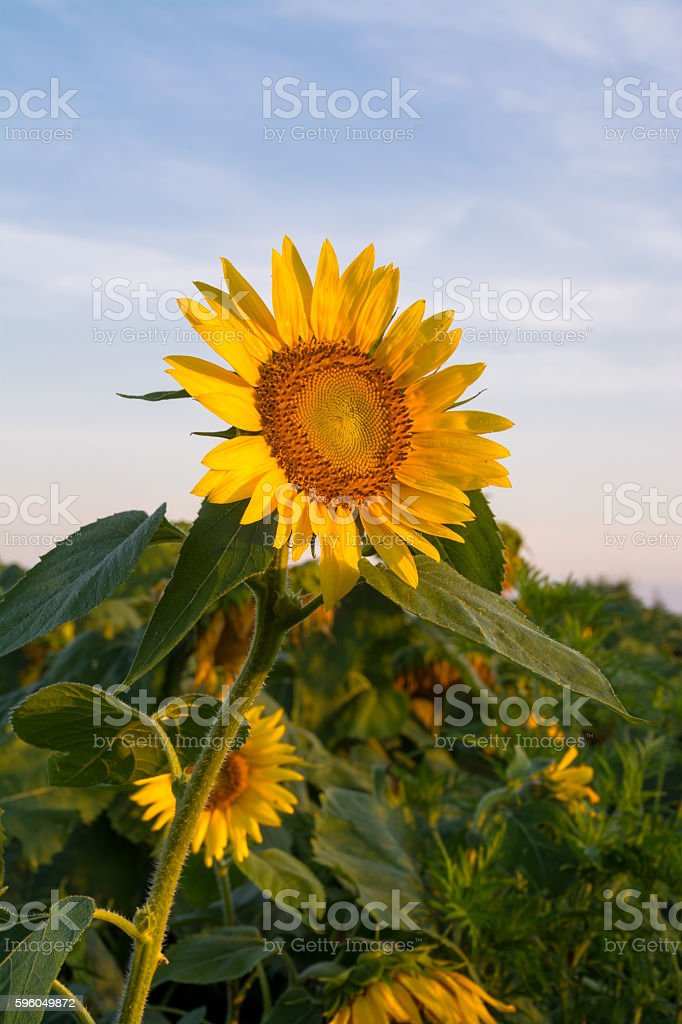 Single open sunflower plant at sunrise. royalty-free stock photo