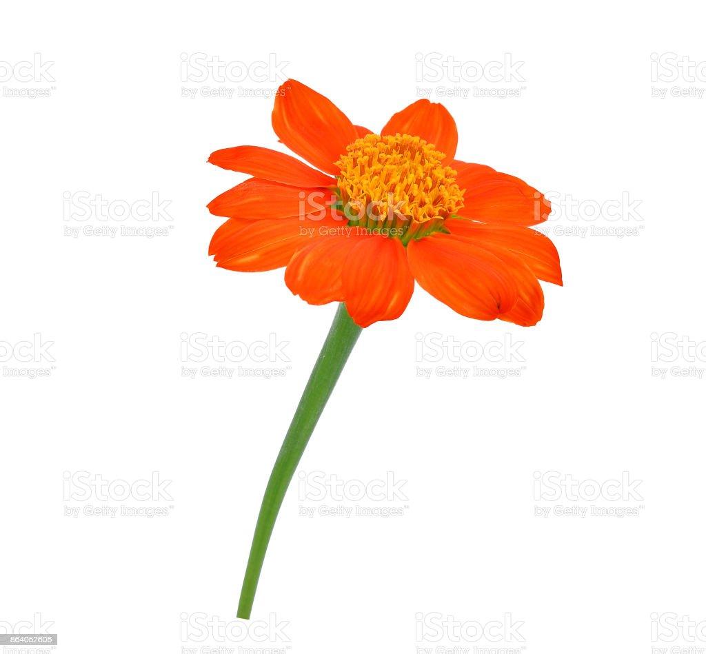single orange flower isolated on white background stock photo