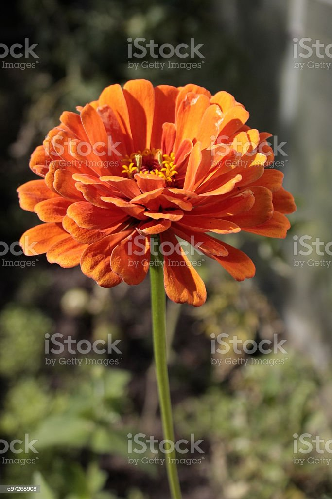 single orange flower on  long stalk Lizenzfreies stock-foto