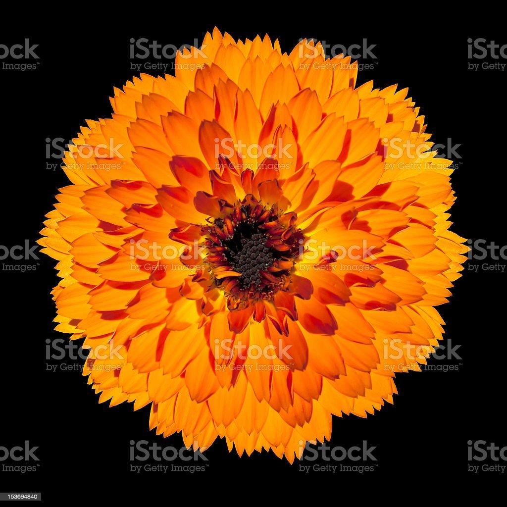 Single Orange Gerbera Flower Isolated on Black Background royalty-free stock photo