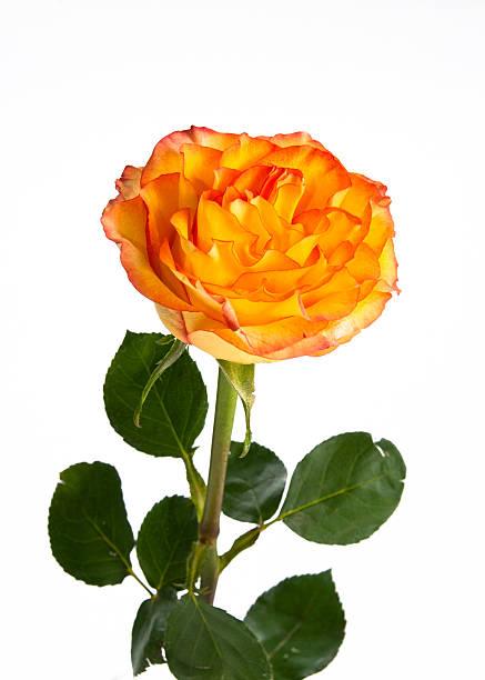 Single orange rose on isolating background stock photo