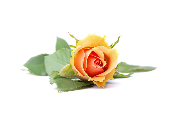 Single orange rose stock photo