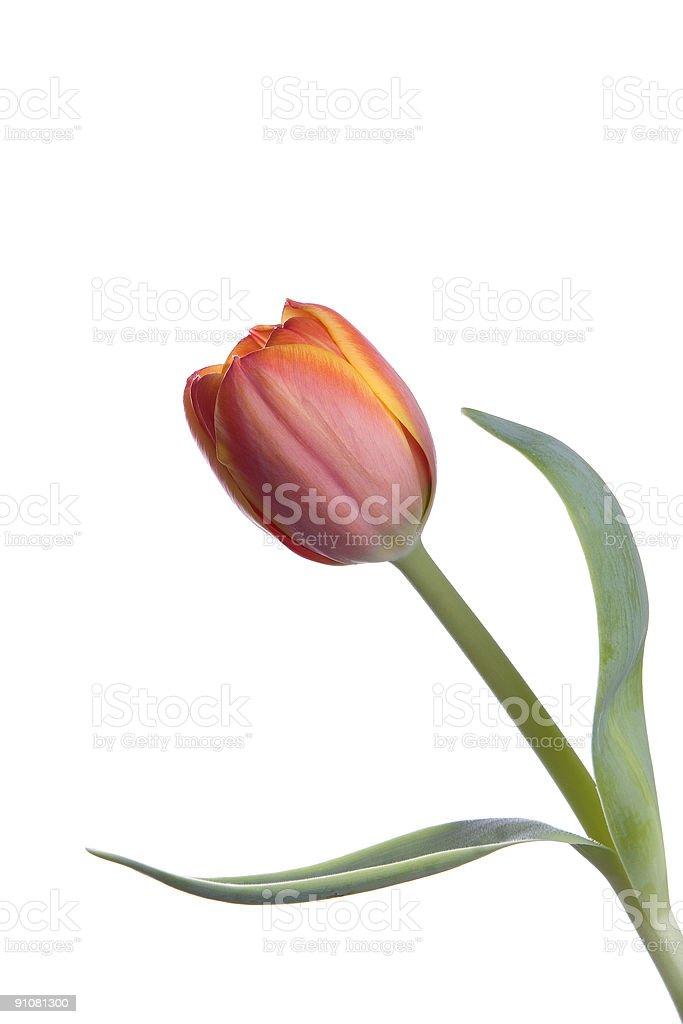 Single Orange Tulip stock photo