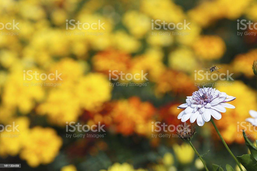 Single Osteosperumum ecklonis flower stock photo