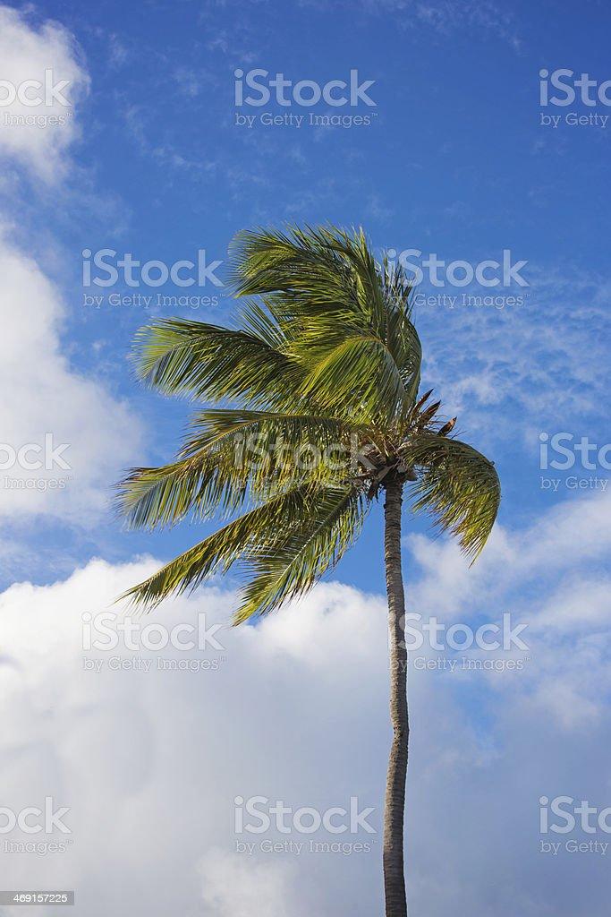Single Palm Tree and Blue Sky stock photo