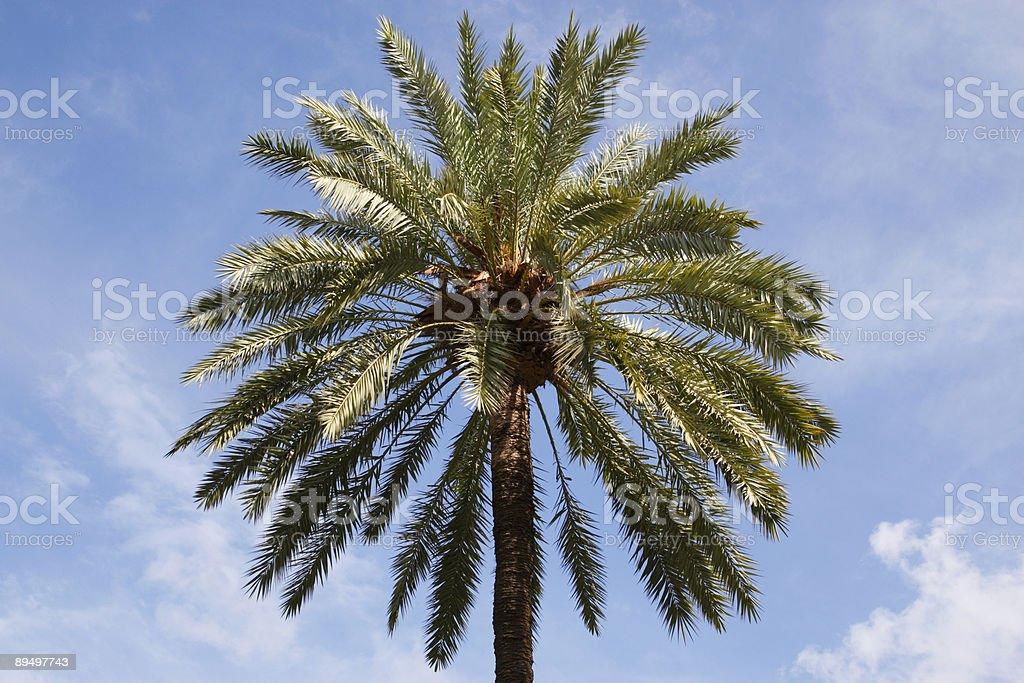 Singolo albero di palma foto stock royalty-free