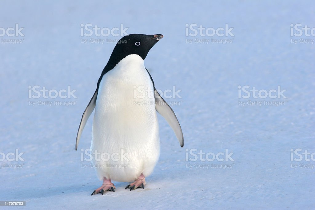 Single penguin standing on slightly tilted snowy hill stock photo