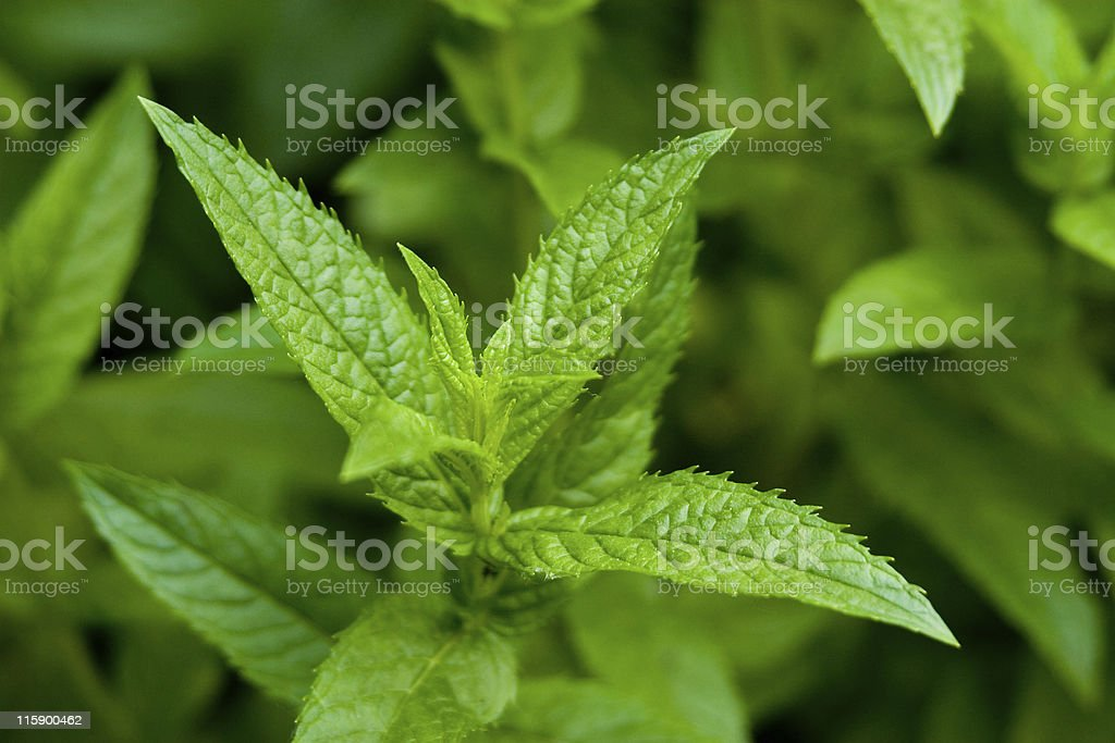 Single peppermint plant royalty-free stock photo