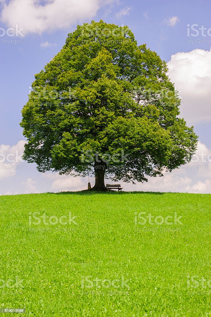 single perfect linden tree at spring stock photo