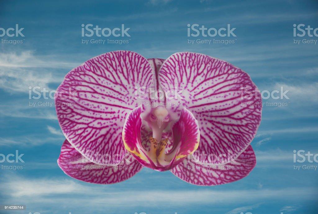 Einzelne Phalaenopsis Orchidee Blume mit einem blauen Himmelshintergrund – Foto