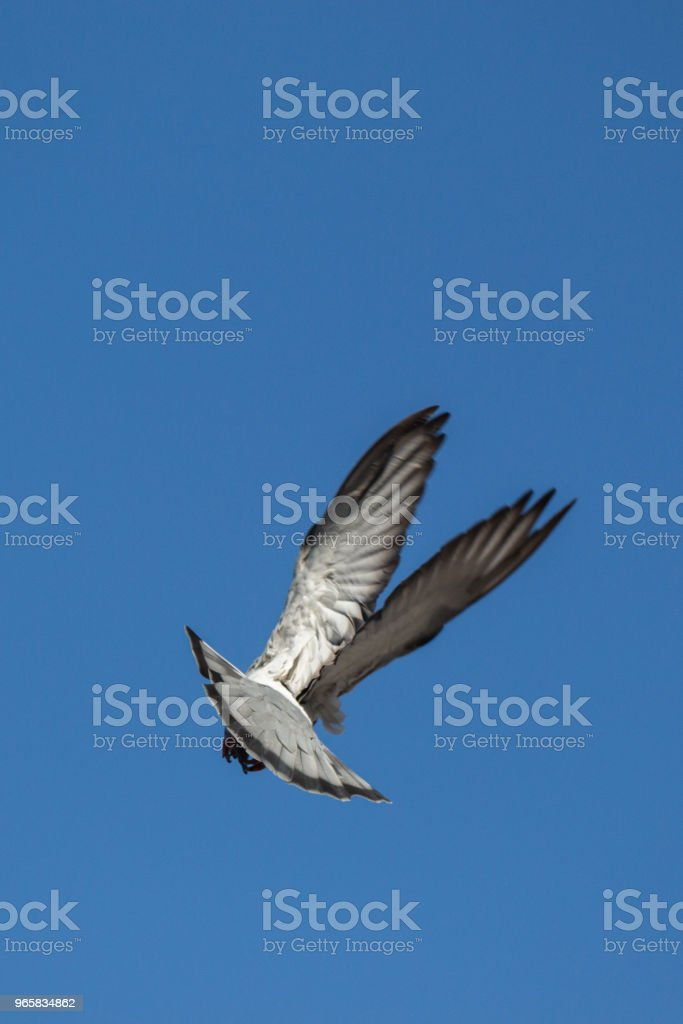 Single pigeon flying in  air - Royalty-free Animal Stock Photo