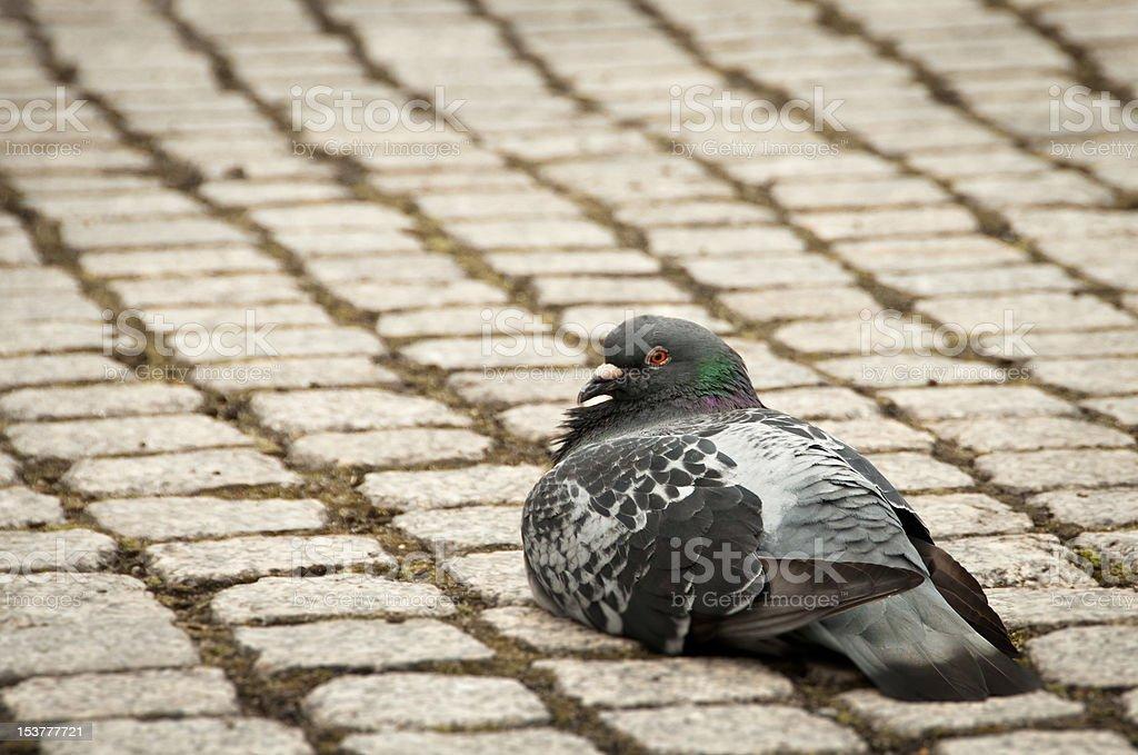 Single pigeon sitting calmly on cobble stone walk stock photo
