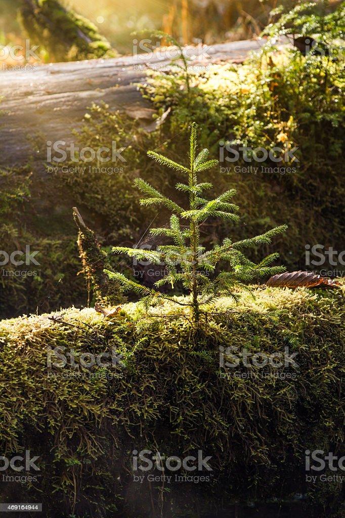 Single Pine Sapling stock photo
