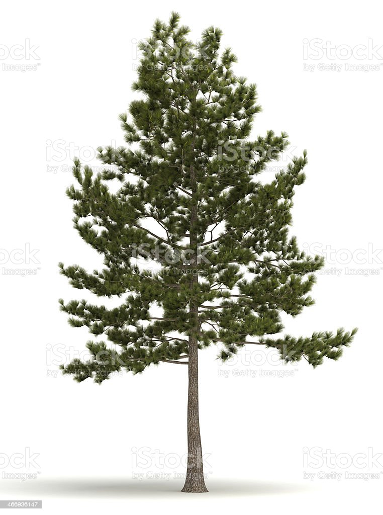 Single Pine Tree stock photo