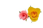 istock A Single pink and yellow color rose from top view. 986313172