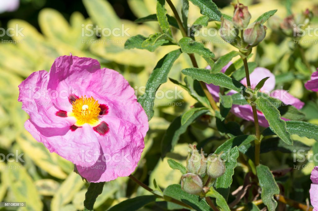 Single Pink Cistus Purpureus Flowers - Orchid Rockrose stock photo