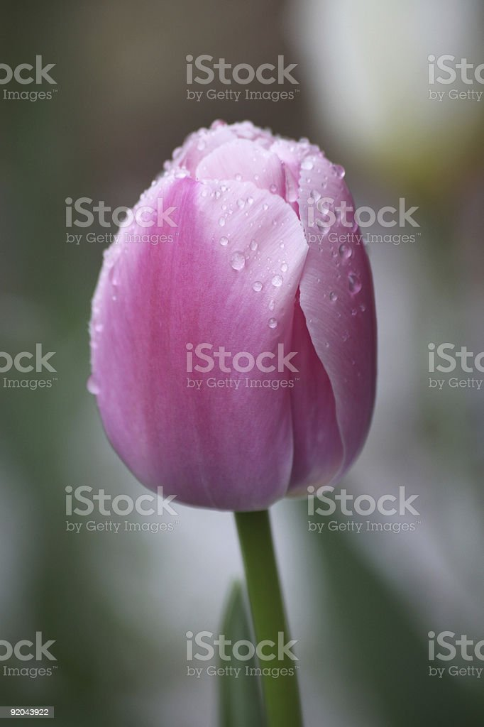Single Pink Closed Tulip Covered In Raindrops stock photo