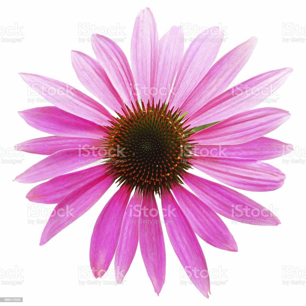 A single, pink coneflower on a white background stock photo