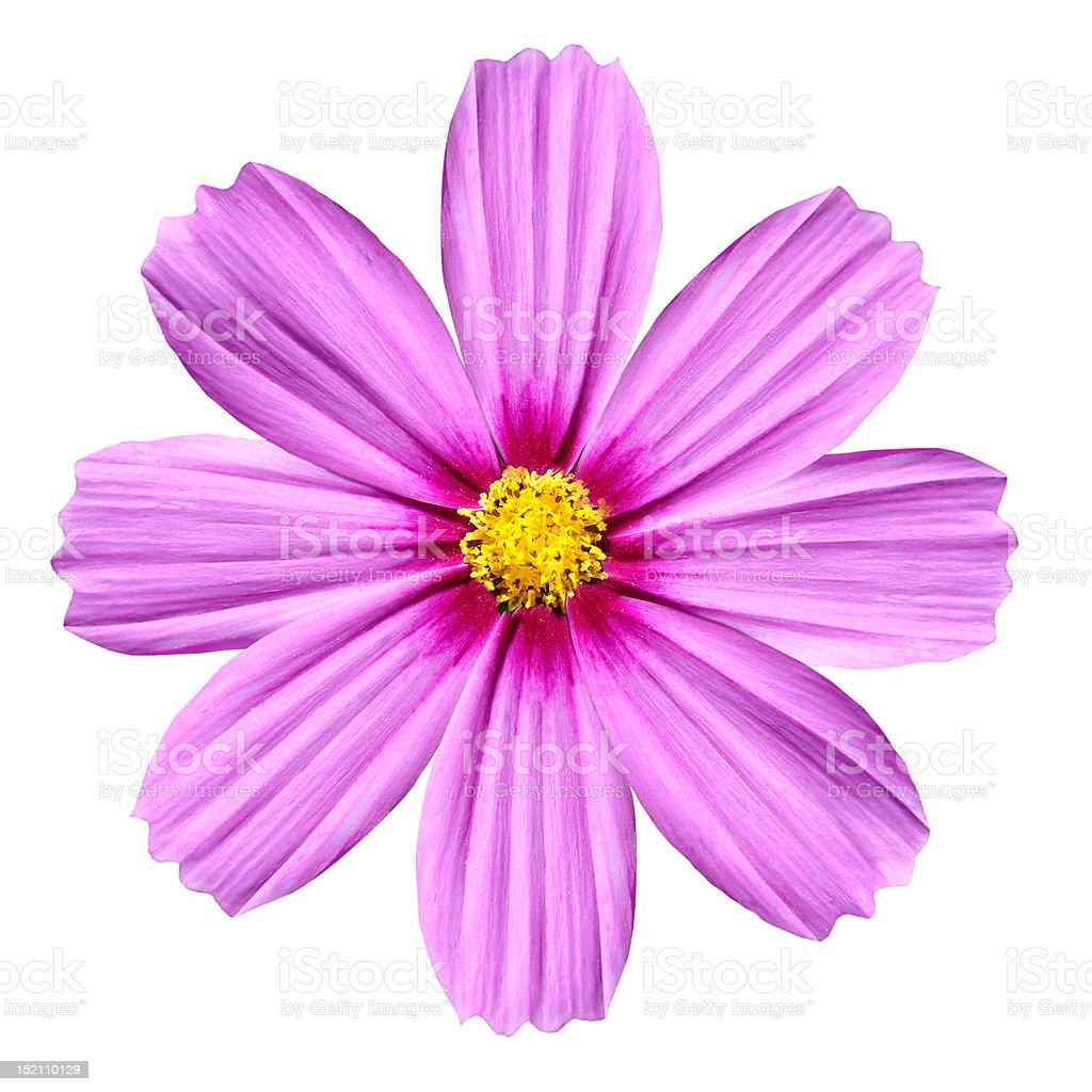 Single Pink Cosmea Rose Beautiful Cosmos Flower Isolated Stock Photo