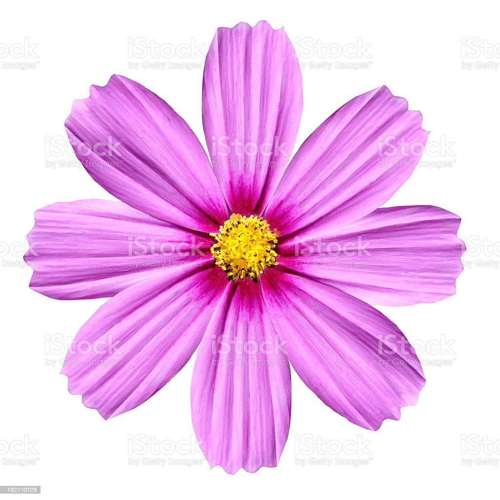 Single pink cosmea rose beautiful cosmos flower isolated stock photo single pink cosmea rose beautiful cosmos flower isolated royalty free stock photo izmirmasajfo