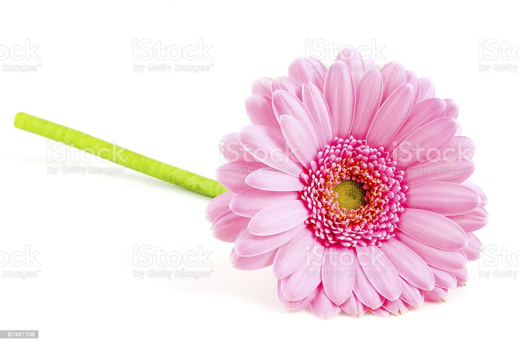 Single pink gerber royalty-free stock photo