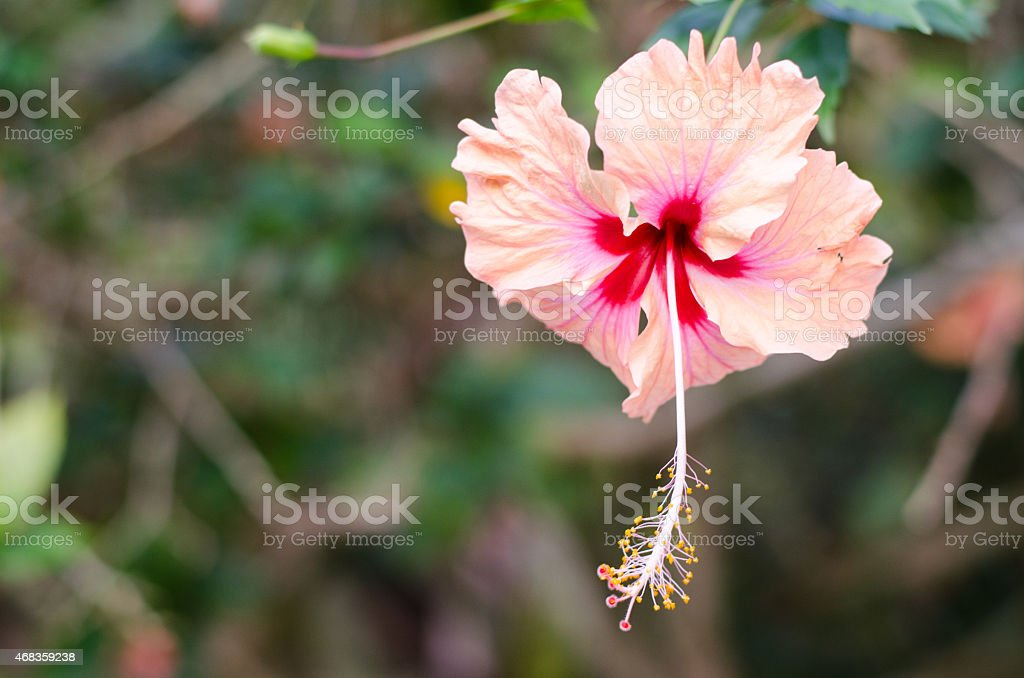 Single pink hibiscus royalty-free stock photo