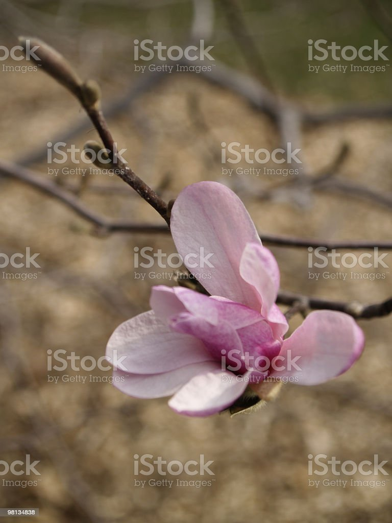Single Pink Magnolia Flower royalty-free stock photo