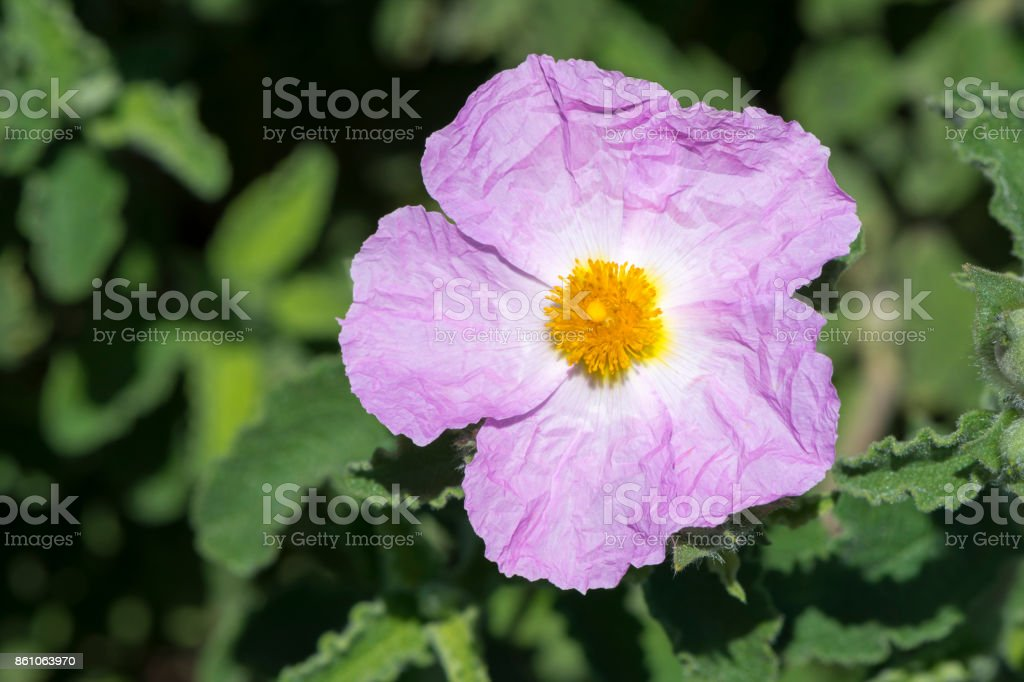 Single Pink Medium Sized Cistus Flower stock photo
