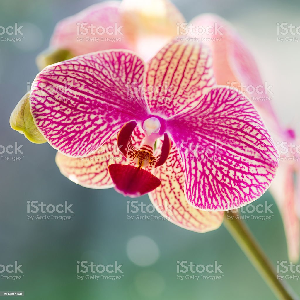 Single pink orchid with a soft bokeh background zbiór zdjęć royalty-free