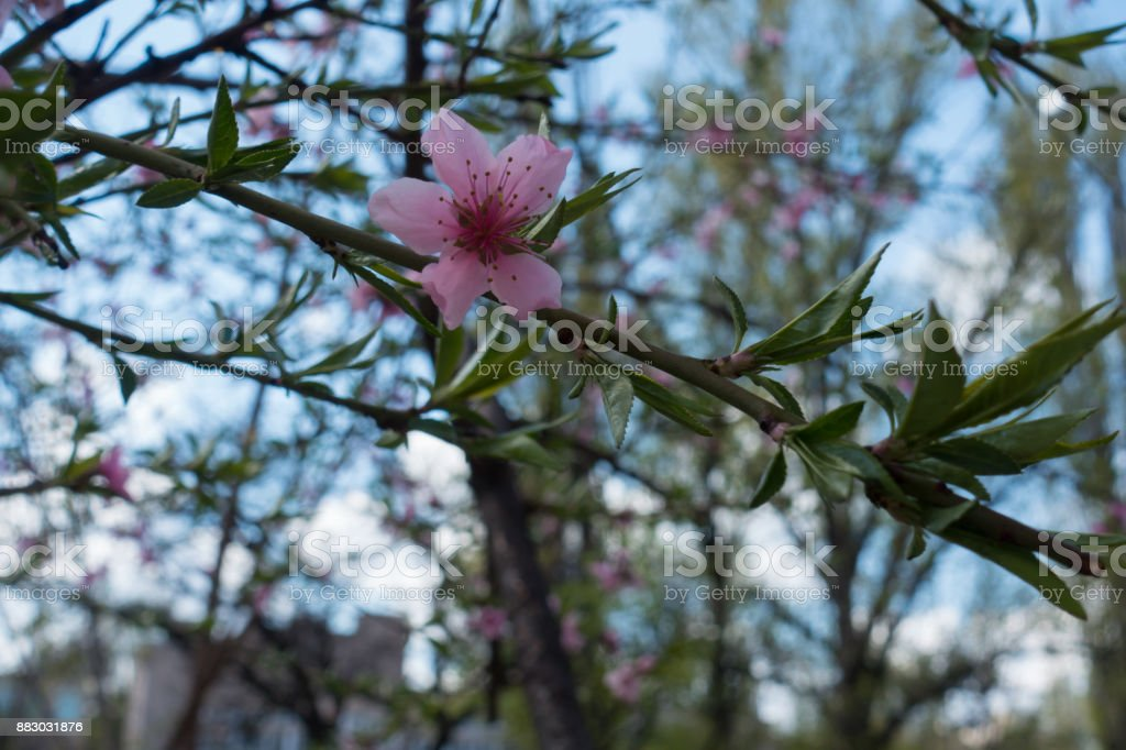 Single pink peach flower in mid spring stock photo