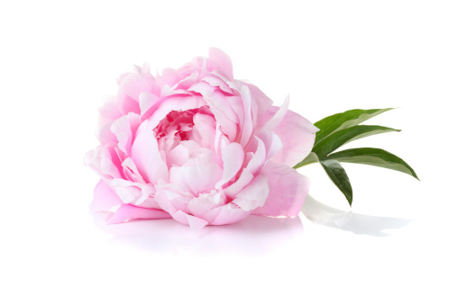 istock A single pink peony on a white background 178990425